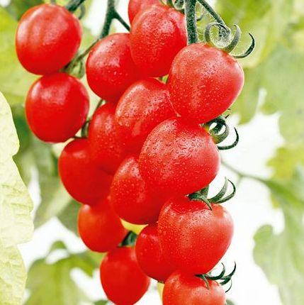 『 家庭菜園に向くトマトの品種を調べてみた 』 家庭菜園,トマト,品種,レッドオーレ,中玉とまと,..ミニ:スイートドロップ(アイコ)..