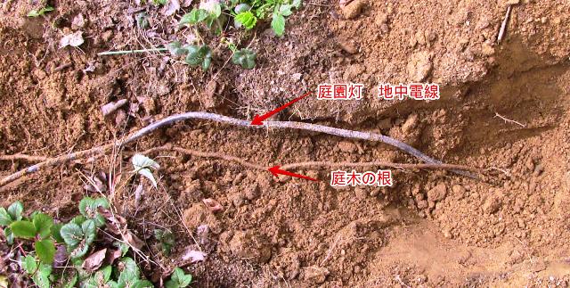 『 【甘い苺の育て方】いちごをプランターで栽培してみた 』 ..埋設している電線を掘り上げたところ…….何と、庭木(多分、椿かカイドウの木)の根が地中のケーブルに沿って伸びていました!..