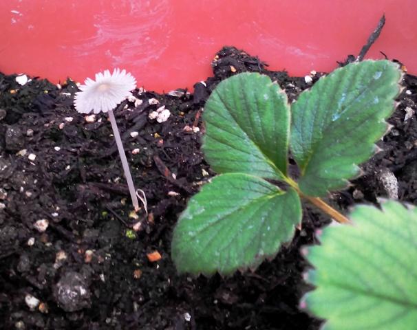『 【甘い苺の育て方】いちごをプランターで栽培してみた 』 ..あれ?プランターにキノコが生えています。..