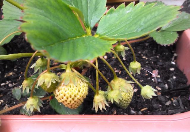 『 【甘い苺の育て方】いちごをプランターで栽培してみた 』 ..こちらのいちごはほんのり色づき始めています。..
