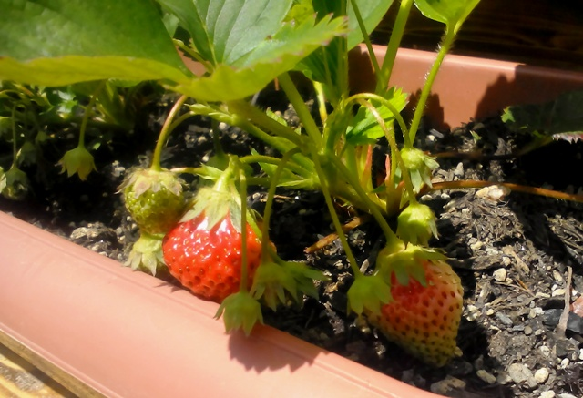 『 【甘い苺の育て方】いちごをプランターで栽培してみた 』 ..初めてのいちご栽培ですが、まずまずです。こちらも、色づき始めました。..