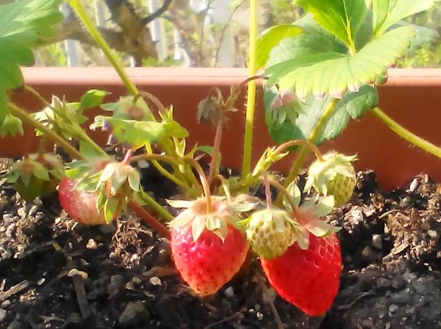 『 【甘い苺の育て方】いちごをプランターで栽培してみた 』 ..結構、きれいな色になりました。..
