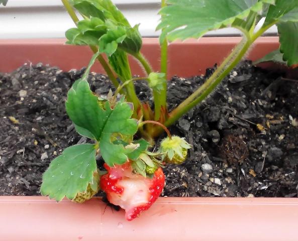 『 【甘い苺の育て方】いちごをプランターで栽培してみた 』 ..ということで、朝一でいちごを見ると…やられてしまいました!..