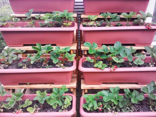 『 【甘い苺の育て方】いちごをプランターで栽培してみた 』 ..せっかく、イチゴのプランター台を作ったのに…殆どのいちごがなくなってしまいました。..