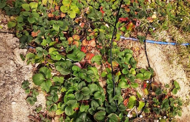 『 【甘い苺の育て方】いちごをプランターで栽培してみた 』 ..ランナーがどんどん伸びてやがて棚から地面まで延び定着してしまいました。その定着したイチゴ達はどうしていたかというと…...