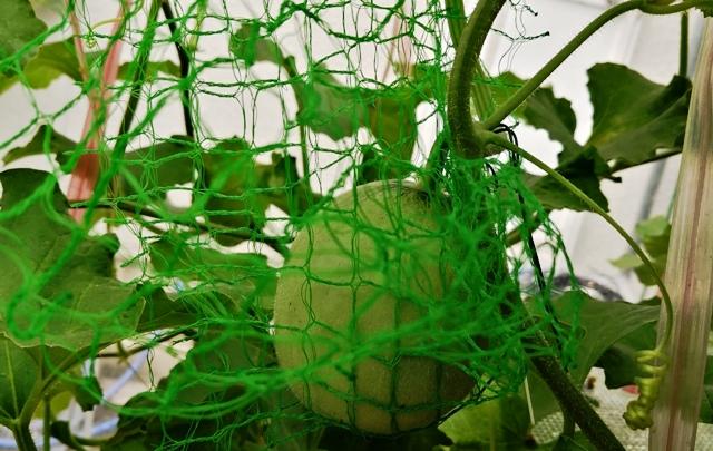 『 メロン栽培は難しい?水耕栽培でメロンを育てる記録 』 ..そしてコレ、どうしても摘果できず育てることにしたメロン君です。..