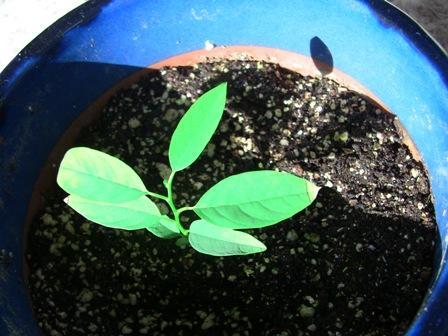 『 釈迦頭(シャカトウ-バンレイシ)栽培-種から育てる記録 』 ..そんな訳で、釈迦頭の成長記録をつけてみようと思います。2018年1月2日の状態。..