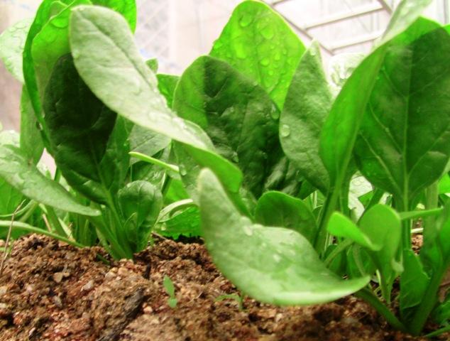 『 ほうれん草の育て方 』 ..ほうれん草のベビーリーフ種蒔き後1ヶ月の状態です。..