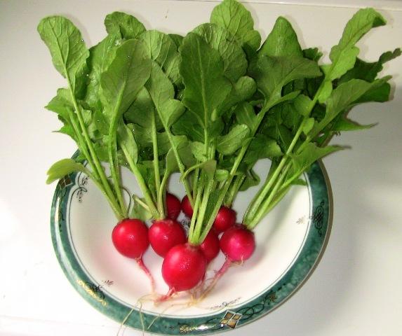 『 ラディッシュのレシピ 』 ラディッシュ,リーフ,ベビーリーフ,やレタス、プランター栽培の野菜などでサラダを簡単に作れます。..種蒔きして1ヶ月、初収穫です。..