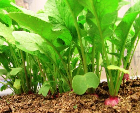 『 ラディッシュのレシピ 』 ラディッシュ,リーフ,ベビーリーフ,やレタス、プランター栽培の野菜などでサラダを簡単に作れます。..幼葉が出揃いました。そして、種蒔き後1ヶ月では........