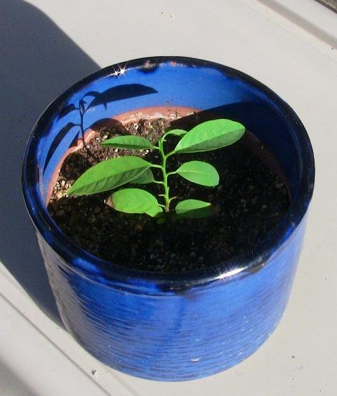 『 釈迦頭(シャカトウ-バンレイシ)栽培-種から育てる記録 』 ..そのほかの電源に使う予定なんだけど元気に育っています..