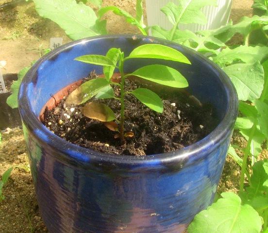 『 釈迦頭(シャカトウ-バンレイシ)栽培-種から育てる記録 』 ..ずっと温室に置くことにしました。そして、帰国後の4月28日に見てみると...........