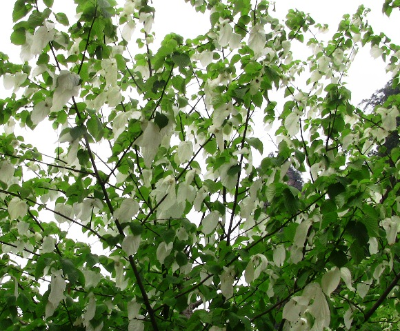 『 中国.張家界から武陵源に行ってみた 』 ..ハンカチの木がお出迎え森林公園ゲート前では『ハンカチの木』がお出迎えです。..