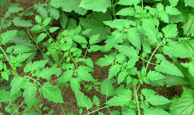 『 ミニ トマト『アイコ』を種から栽培する記録 』 について、種から育てた記録を書き記しています。..アイコは温室にも植えていました。こちらのアイコは目立った変化もなく順調に育っています。..