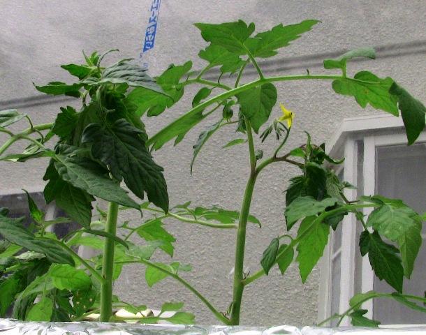 『 【アイコの栽培】ミニ トマト『アイコ』を種から育てる記録 』 について、種から育てた記録を書き記しています。..子葉が落ちたり葉の付け根部分が薄く茶色に変色してきました。こちらはまだマシな方ですがそれでもやや変色しています。..