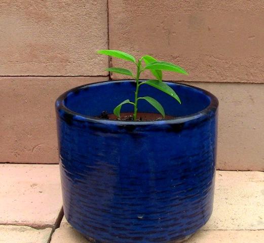 『 釈迦頭(シャカトウ-バンレイシ)栽培-種から育てる記録 』 ..枯れかかった葉は切り落としてお化粧です。..