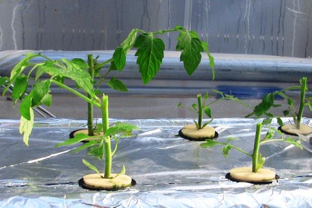『 【アイコの栽培】ミニ トマト『アイコ』を種から育てる記録 』 について、種から育てた記録を書き記しています。..本来、樹勢を回復する時間ですが、『死にそう…!』って悲鳴を上げている様子。そこで思い切って変色した葉の付け根をカットし、脇芽に命運を託すことにしました。..