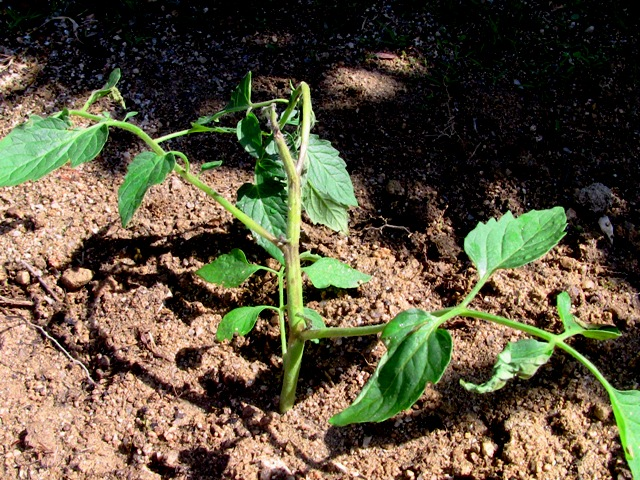 『 ミニ トマト『アイコ』を種から栽培する記録 』 について、種から育てた記録を書き記しています。..また、比較のため庭にも植えてみました。温室は定員オーバー状態です。これは変色した茎をカットせずほぼ現状のままの3日目の状態です。..