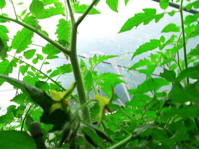 『 ミニ トマト『アイコ』を種から栽培する記録 』 について、種から育てた記録を書き記しています。..花が咲きました温室内に植えていたアイコの第一花弁に花が咲きました。..