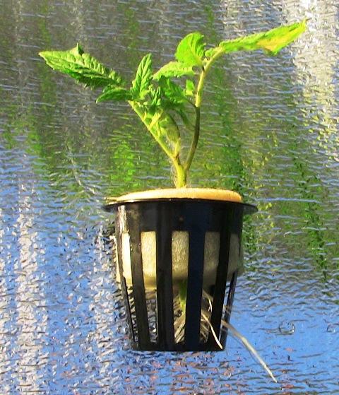 『 【アイコの栽培】ミニ トマト『アイコ』を種から育てる記録 』 について、種から育てた記録を書き記しています。..第一花弁下の脇芽を水耕栽培ポットに挿して1週間が経過しました.。日中の暑さでしおれて『もうだめか?』と思える時もありましたが何とか耐え忍び綺麗な白い根が出ました。(6/13)..