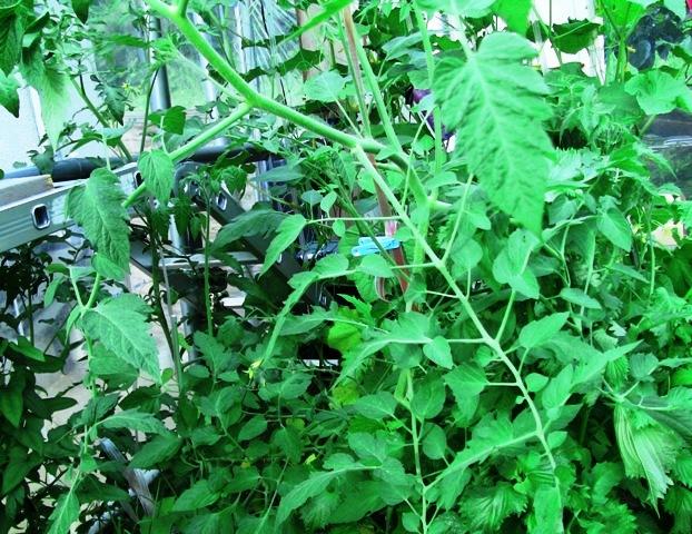 『 【アイコの栽培】ミニ トマト『アイコ』を種から育てる記録 』 について、種から育てた記録を書き記しています。..ただ、行く前に支えをしていたのですが、帰国したら予想以上の成長でまるでインドネシアになっていました。..