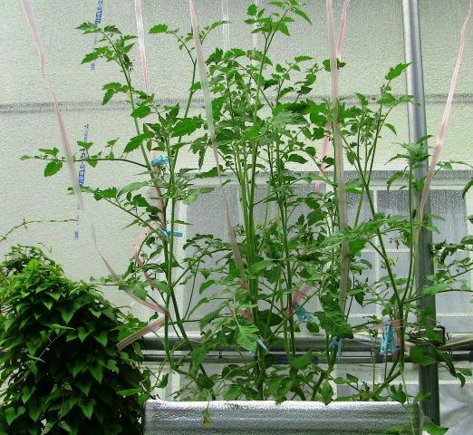 『 ミニ トマト『アイコ』を種から栽培する記録 』 について、種から育てた記録を書き記しています。..これは土植えのアイコですが、ハイドロポニック 水耕栽培のアイコも伸び放題って感じです。..