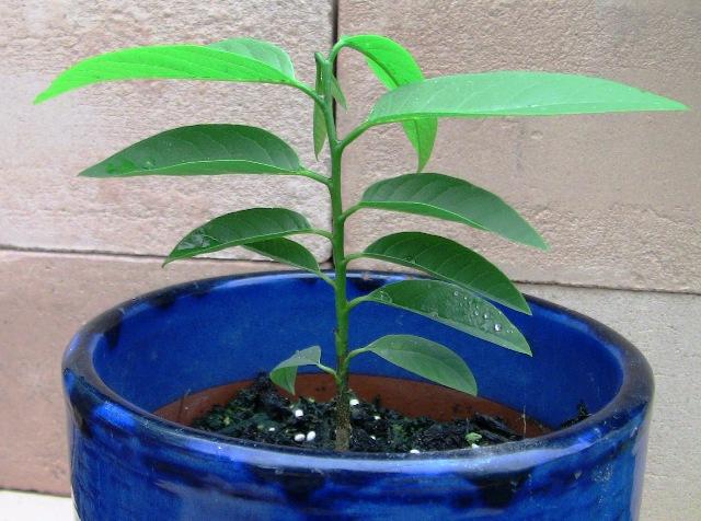 『 釈迦頭(シャカトウ-バンレイシ)栽培-種から育てる記録 』 ..そしてこちらが6/6日の状態です。..