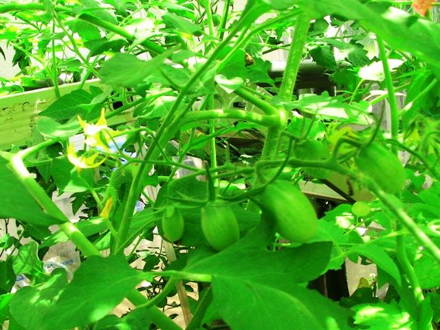 『 【アイコの栽培】ミニ トマト『アイコ』を種から育てる記録 』 について、種から育てた記録を書き記しています。..脇芽もどんどん成長して、凄いことになっています。ミニトマトのアイコも成長しました。..