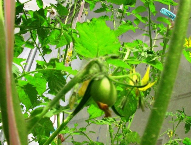 『 ミニ トマト『アイコ』を種から栽培する記録 』 について、種から育てた記録を書き記しています。..水耕栽培のアイコ結実 (7/2)ようやくアイコに可愛らしいミニトマトアイコが出来ました。..