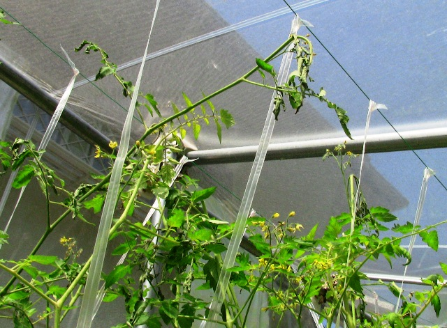 『 ミニ トマト『アイコ』を種から栽培する記録 』 について、種から育てた記録を書き記しています。..この時の後遺症がこれです。..