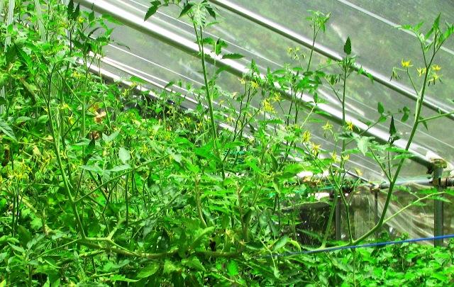 『 【アイコの栽培】ミニ トマト『アイコ』を種から育てる記録 』 について、種から育てた記録を書き記しています。..また、フイルターの目づまりも相当影響しています。来年は心して栽培しなければなりませんね。..