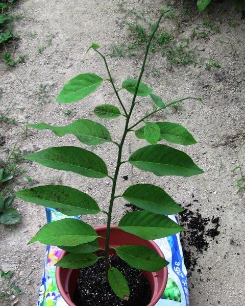 『 釈迦頭(シャカトウ-バンレイシ)栽培-種から育てる記録 』 ..しかし、わずか数か月でここまで大きくなりました。..