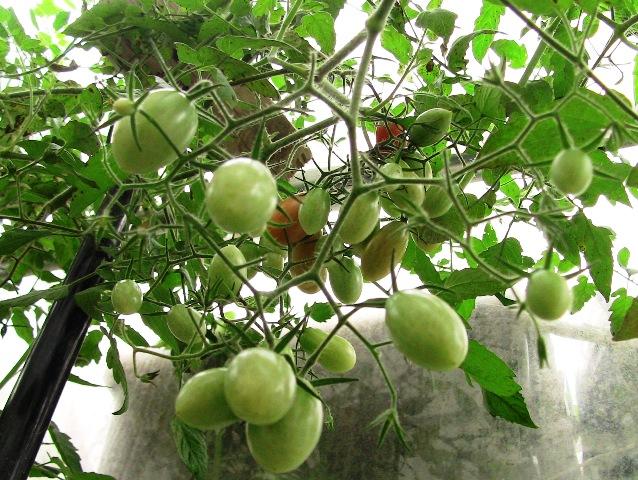 『 【アイコの栽培】ミニ トマト『アイコ』を種から育てる記録 』 について、種から育てた記録を書き記しています。..ハウスの外部に誘導しようと思います。..