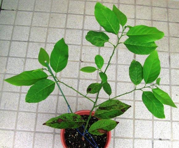 『 釈迦頭(シャカトウ-バンレイシ)栽培-種から育てる記録 』 ..のでしょう。今はこのような姿になっています。..