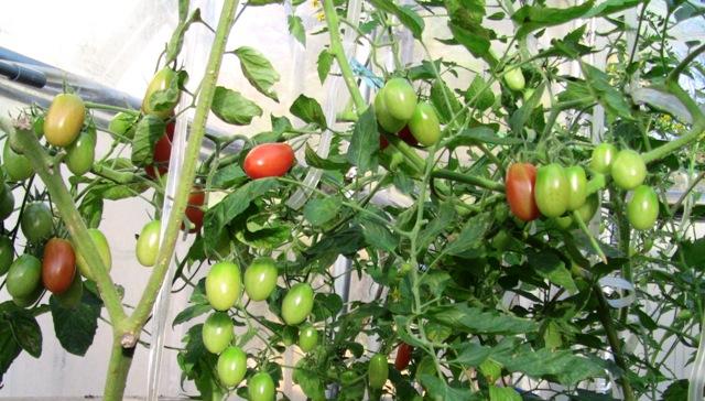 『 【アイコの栽培】ミニ トマト『アイコ』を種から育てる記録 』 について、種から育てた記録を書き記しています。..結構、成長したりして、花が咲き、結実し11月中旬にはご覧の通りになりました。..