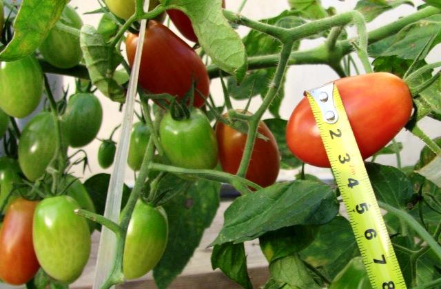 『 ミニ トマト『アイコ』を種から栽培する記録 』 について、種から育てた記録を書き記しています。..その分の栄養を子孫に回そうという魂胆でしょうか?直径3センチ以上のジャンボアイコの誕生です。..