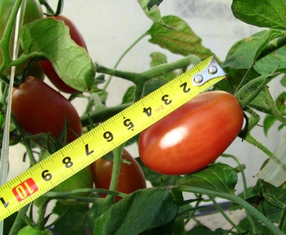 『 ミニ トマト『アイコ』を種から栽培する記録 』 について、種から育てた記録を書き記しています。..長さは5.5センチもあります。..