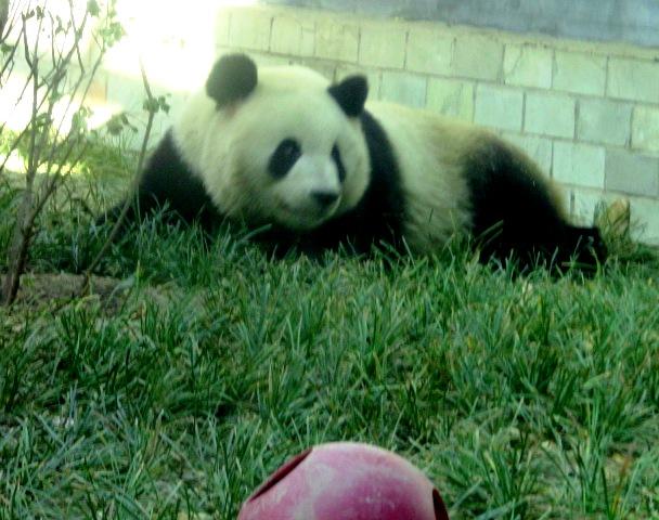『 北京動物園のパンダはオリンピック広場で食う寝る遊ぶ三昧 』 ..ここで、ロングシュートを決めて……..