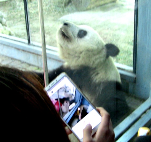 『 北京動物園のパンダはオリンピック広場で食う寝る遊ぶ三昧 』 ..いやぁ、疲れた…!一休み…一休み。..