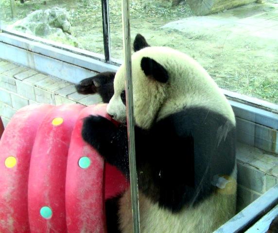 『 北京動物園のパンダはオリンピック広場で食う寝る遊ぶ三昧 』 ..こっちの方が楽しいかも…ね。..