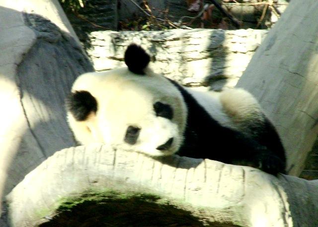 『 北京動物園のパンダはオリンピック広場で食う寝る遊ぶ三昧 』 ..お前ら、何楽しいんネン。ワシャ、疲れたぞぉ~。..
