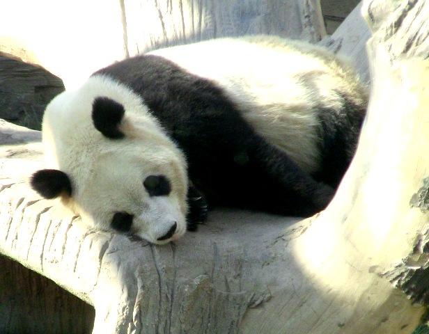 『 北京動物園のパンダはオリンピック広場で食う寝る遊ぶ三昧 』 ..ようやるよのぉ…....