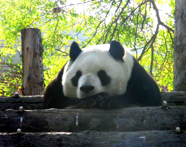 『 北京動物園のパンダはオリンピック広場で食う寝る遊ぶ三昧 』 ..ホント!若いってうらやましいわねぇ~!..