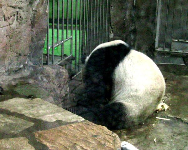 『 北京動物園のパンダはオリンピック広場で食う寝る遊ぶ三昧 』 ..目もくれずに竹の子を食べ終わったら…...