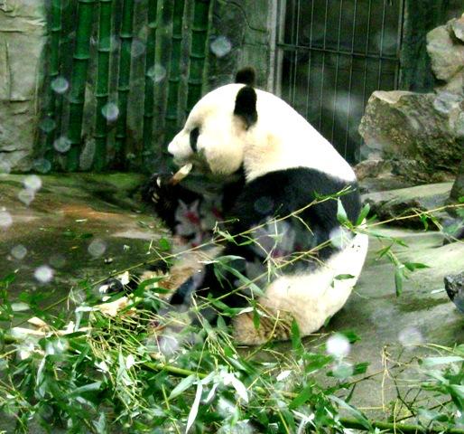 『 北京動物園のパンダはオリンピック広場で食う寝る遊ぶ三昧 』 ..いました!いました!パンダ クンです。いや、パンダさんなのかな?..
