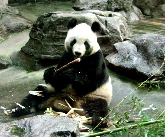『 北京動物園のパンダはオリンピック広場で食う寝る遊ぶ三昧 』 ..パンダの食べ物は笹の葉とばかり思っていましたが…….このようなものを食べていました。..