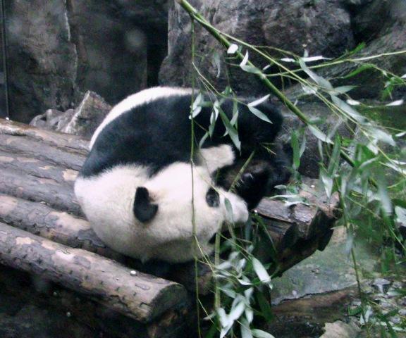 『 北京動物園のパンダはオリンピック広場で食う寝る遊ぶ三昧 』 ..仕方ない……ふて寝で食べようっと。..