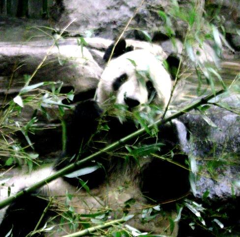 『 北京動物園のパンダはオリンピック広場で食う寝る遊ぶ三昧 』 ..おっ?これワタシの故郷の竹?..