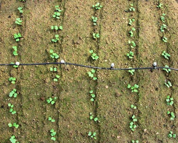 『 20日大根(ラディッシュ)をプランターや水耕栽培で育てる日記 』 ..二十日大根の成長も一時停止って感じです。でも8日目に比較すればちょっと成長していますね。..