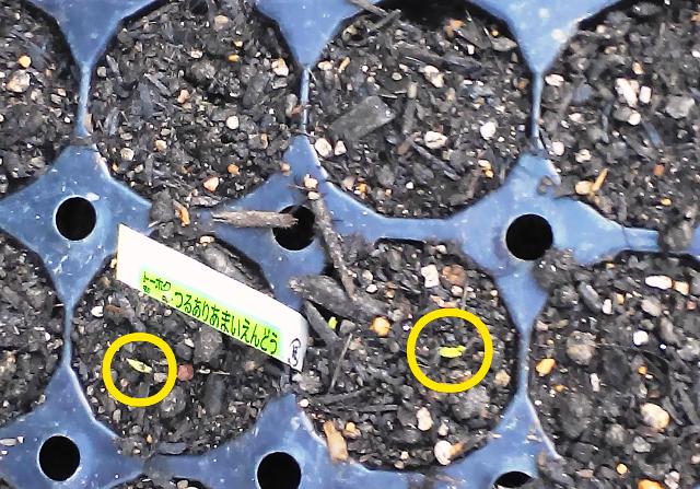 『 つるあり甘いえんどうを育ててみました 』 ..そのうちの2個から発芽しました。今日が3/26日ですから、種まきしてから10日目です。..